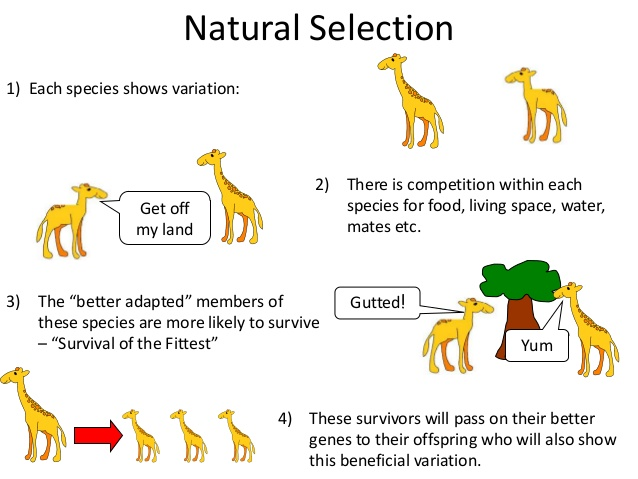 an analysis of the natural selection to survival of the fittest Darwin and natural selection  darwin came to describe this process as the survival of the fittest  analysis of 13h century.