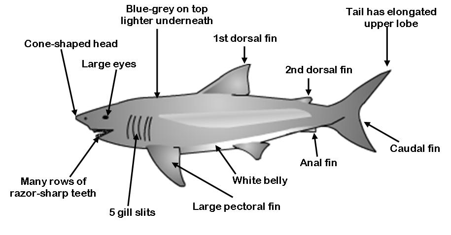 30 Great Tiger Shark Diagram Beautiful Fast Facts About Mako Sharks