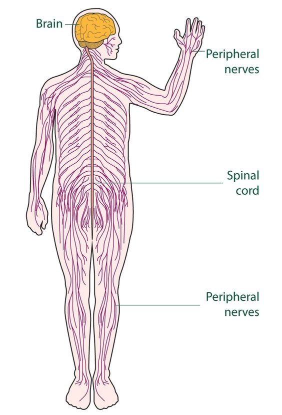 The Nervous System For Kids | My Storybook