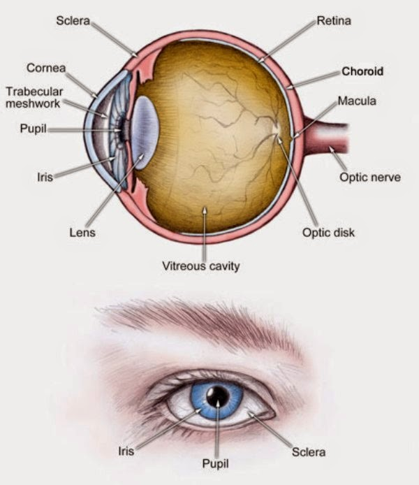 Eye labeled diagram of front of auto electrical wiring diagram funky labelled diagram of eye ideas anatomy and physiology biology rh stockmarketresources info eye structure labeling ccuart Image collections