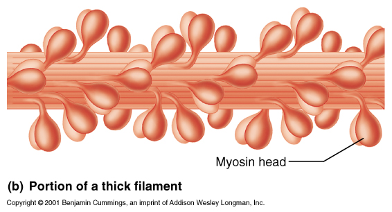 Myosin Filament Adventure | My Storybook